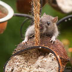 I Dont Want To Fall (Phil Benton Photos) Tags: nature furry rat rope climbing balance feeders coconuts claws