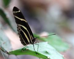 Vlindertuin #6 (Omroep Zeeland) Tags: vlinder vlindertuin berkenbos kwadendamme