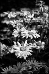 Last light on daisies (jmschrei) Tags: summer bw flower monochrome daisies da35ltd pentaxk5