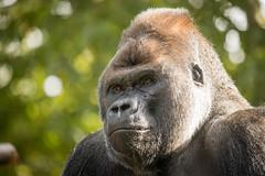2014-08-09-10h25m06.BL7R6568 (A.J. Haverkamp) Tags: amsterdam zoo gorilla thenetherlands artis dierentuin akili httpwwwartisnl dob16101994 canonef100400mmf4556lisusmlens pobfrankfurtgermany