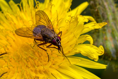 Calypterate Fly (Muscid or Anthomyid) (Derek.P.) Tags: insectos macro nature insect fly wildlife insects flies naturalworld insekten insectes flys insetti  invertebrate invertebrates pottericcarr insetos diptera   potteric calypterate