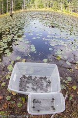 Release Site (Lotterhand) Tags: new snapping hampshire turtles hatchling