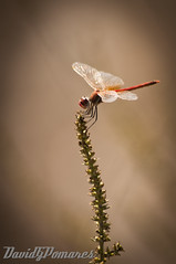 Liblula 4 (DavidGPomares) Tags: insectos macro animal insect nikon dragonfly sigma libelula animales 70300 d5000