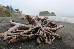 Roots of Driftwood (daveynin) Tags: beach fog coast nps driftwood coastline olympic seastack deaftalent deafoutsidetalent deafoutdoortalent