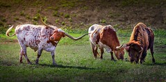 Unlikely Friends (spencerjluna) Tags: friends animals cow buffalo texas cows country hill north longhorns longhorn middle hillcountry bison camels grazing unlikely