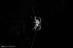 spider (K. van Ryswyk) Tags: blackandwhite bw spider lowkey