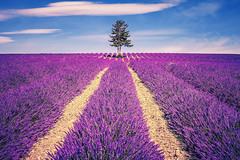 Lavender field and tree (Frdric Prochasson) Tags: blue light summer plant france flower tree beautiful beauty field lines french landscape outdoors countryside colorful purple scenic magenta violet lavender nobody rows fragrant provence picturesque lavande abundance herbal scent azur fragrance aroma blooming scented aromatherapy alpesdehauteprovence valensole provencealpescote lavendin sunnylandscape