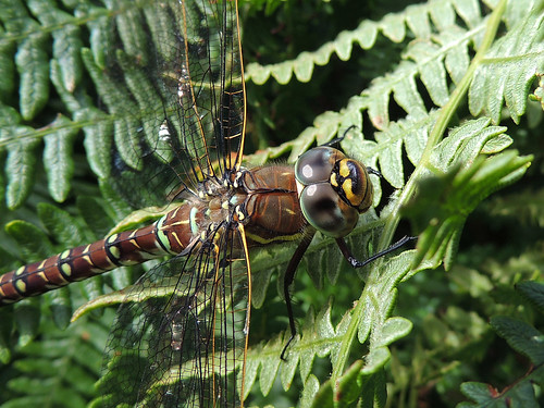 Common Hawker close-up