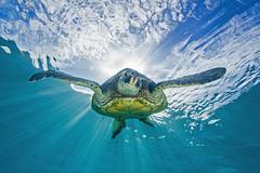 turtle3July19-14 (divindk) Tags: ocean sea sunshine hawaii marine underwater turtle maui tropical sunburst honu sunrays seaturtle cheloniamydas clearwater greenseaturtle endangeredspecies napili underwaterphotograp