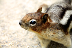 Golden Mantled Ground Squirrel (BasLoo) Tags: life red wild white lake canada black eye animal mammal golden eyes squirrel colombia bc head stripes wildlife ground louise chipmunk eekhoorn britisch mantled