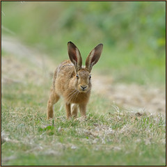 Brown Hare (image 3 of 3) (Full Moon Images) Tags: brown nature water animal mammal hare wildlife reserve rutland