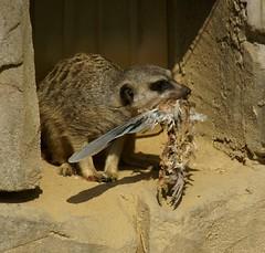 Erdmännchen / Meerkat (Suricata suricatta) (HEN-Magonza) Tags: frankfurt zoo erdmännchen meerkat suricatasuricatta hessen hesse deutschland germany