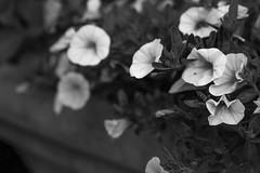 floral forms, stone vessel, Anne's garden, Rockland, Maine, Nikon D40, nikon nikkor 50mm f-2, 8.19.14 (steve aimone) Tags: flowers blackandwhite plant floral monochrome garden maine vessel monochromatic rockland grays midcoast primelens nikond40 nikonnikkor50mmf2 floralforms