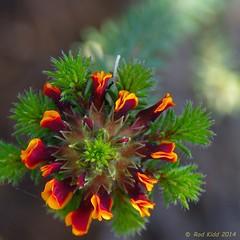 Orange (OzzRod (on the wallaby)) Tags: flowers square pentax native australia western wildflowers k5 pentaxda1650mmf28