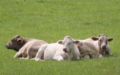 Habitat (Cefn Ila) Tags: cows naturereserve limestone grassland cowpat gwt sssi brockwellsmeadows