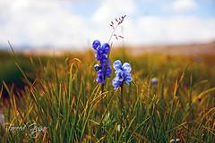 Deosai O deosai (Fareed Gujjar - Next Mount Everest April 14) Tags: pakistan flower water north greenery deosai sheosarlake northpakistan faridgujjar gilgitbaltistan thetrekkerz fareedgujjar
