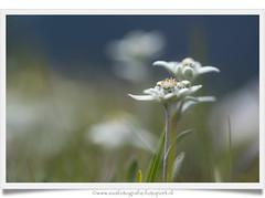 Edelweiss / Leontopodium Alpinum (https://www.eusphotography.com/) Tags: flowers summer italy mountain mountains alps flower macro closeup zomer alpen edelweiss bloemen dolomites italië mountainmeadow bloem southtirol 2014 leontopodiumalpinum dolomieten zuidtirol nikond600 bergweide tamronsp90mmf28divcusd