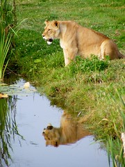 Reflecting Lion (sallyewiddowson) Tags: wild lake reflection water animal animals zoo reflecting pond sitting lion reflect lioness ywp yorkshirewildlifepark sallywiddowsonphotography