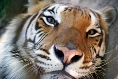 Carolina Tiger Rescue - Roscoe Tiger