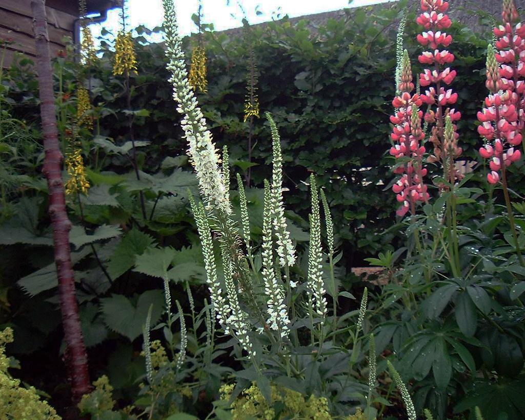 Veronica longifolia 'Schneeriesin'