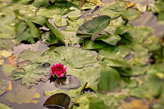 Rosa vannlilje (Birgit F) Tags: flowers lensbaby waterlilies grimstad vannlilje dmmesmoen lensbabycomposer edge80 rosavannlilje