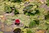 Rosa vannlilje (Birgit F) Tags: flowers lensbaby waterlilies grimstad vannlilje dømmesmoen lensbabycomposer edge80 rosavannlilje