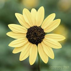 Sunflower (skippys1229) Tags: flower green grass yellow canon garden florida bokeh squareformat sunflower lglass 70d canonef24105mmf4lisusm canon70d