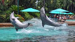 Making a Splash (littlestschnauzer) Tags: world park sea summer vacation usa holiday water pool fun orlando nikon marine florida dolphin parks august spray resort dolphins theme splash seaworld airborne leaping 2014 d5000