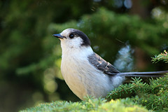 Gray Jay - West Vancouver (bcbirdergirl) Tags: canada grey bc crest trail sound cypressmountain westvancouver howe canadensis whiskeyjacks canadajay perisoreus grayjays