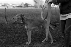 Dog eat dog (Trojan_Llama) Tags: bw dog slr film monochrome analog 35mm blackwhite plus hp5 pentaxmesuper ilford lurcher