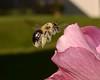busybee3_8x10 (1g-money) Tags: bees pollen beepollen nikkor50mm118g