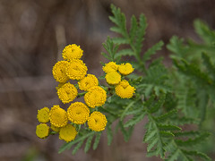 140813cotansy5643 (jvhigbee) Tags: flower commontansy tancetumvulare