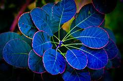 Waxy Blue. (Omygodtom) Tags: blue red sunlight abstract detail macro art texture nature strange leaves leaf nikon dof bokeh odd existinglight tamron90mm naturelovers d7000