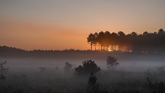 Sunrise in the pine forest. (dr.rol) Tags: frankreich landschaft wald sonnenaufgang aquitaine