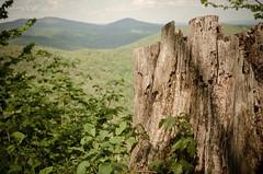 Tree Stump (OmegaMoth) Tags: mountains tree green nature forest landscape spring nikon may stump dslr treestump appalachianmountains 2014 usnationalpark shenandoahnationalpark marysrocktrail d7000 nikond7000 sugarcrashphotography