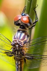 Pine Cliff - June 14th (19 of 56) (Quentin Biles) Tags: macro canon nc dragonfly northcarolina croatannationalforest 100l 5d3 5dmarkiii pinecliffrecreationarea