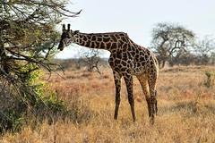 Giraffe feeding at Taita-Hills-Game-Reserve in Kenya (africansermonsafaris) Tags: giraffeinkenya taitahills kenyasafari