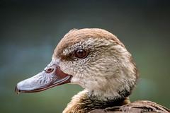 Mandarinente / Mandarin duck (Doris & Michael S.) Tags: mandarinente zooleipzig vogel sonyilcaalpha77ii tiere tamronsp150600mm aixgalericulata animals canardmandarin mandarinduck sonyilca77m2 bird oiseau