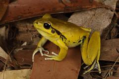 Stony creek frog (Litoria wilcoxii) (Jordan Mulder) Tags: stony creek frog litoria wildlife amphibian wilcoxii