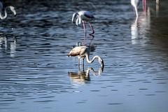 Flamencos (ibzsierra) Tags: ibiza eivissa baleares canon 7d 2100400 is usm flamenco flamingo ave borid oiseau salinas parque natural