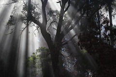 Bao de niebla (cangrejo fotografiador) Tags: fog tree light sunbeam nature forest madeira portugal explore landscape canon 6d 85mm