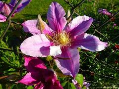 Morning Glory (Studio Fotz) Tags: morning glory kwiat rowy