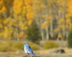 Mountain Bluebird with Foliage in Background (claypeoples) Tags: bird wildlife bluebird pretty