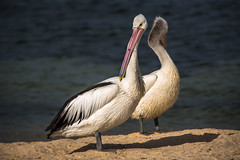 Pelicans - Mirror image (Chas56) Tags: pelican pelicans birds birdlife waterbirds wildlife beach feathers stleonards stleonardsbeach aquaticbirds bird animal canon canon5dmkiii sand water sea seaside ngc telephoto