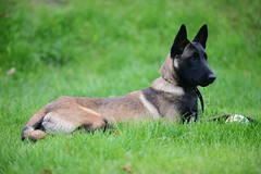belgian malinois (DuChezMalinois) Tags: belgianmalinois aggression animals beautiful beauty black brown canine cheerful culture curiosity cute dog domestic friendship fur guard hair head loyalty mammal nature obedience partnership pets police portrait protection puppy purebred security shepherd snout young lithuania