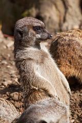 Erdmnnchen (astroaxel) Tags: zoo wuppertal erdmnnchen deutschland nrw nordrhein westfalen nordrheinwestfalen