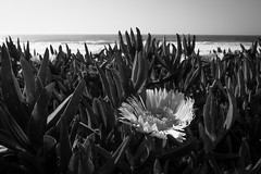 Point Reyes National Seashore (nicklaborde) Tags: 500px westcoast 2015 april beach california flowers gx7 green lumix lumixgx7 ocean pacific coast panasonic travel west
