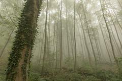 Foggy forest (T.Fri) Tags: forest woods trees ivy green fog foggy thin sunlight scary spooky mysterious mystical mist haze