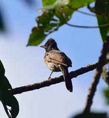 Red vented Bulbul (sreejithkallethu) Tags: redventedbulbul bulbul birdsofkerala birdsofpolachira nature naturephotography polachira kollam kerala pycnonotuscafer