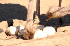 nido (Sergio Pou Acua) Tags: ave avestruz nido huevos ensenada zoo cuidando